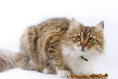 maine coon: Maine Coon - cat eats