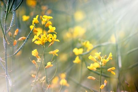 Spring in a meadow - Yellow flowers lit by sunbeams -sunlight