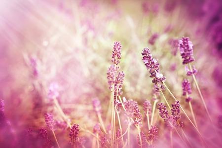 Soft focus on lavender and sun rays - sunbeams