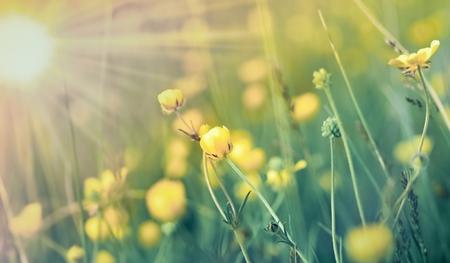 buttercup flower: Buttercup flower in meadow in spring
