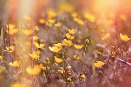 buttercup flower: Spring in meadow - beautiful yellow flowers (buttercup flower)