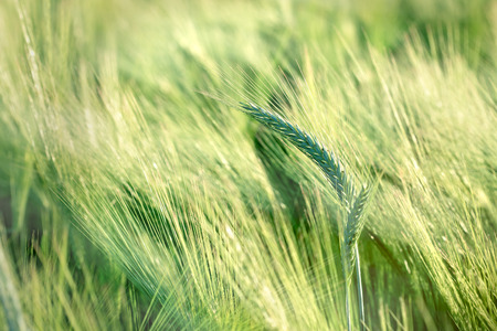 agricultural crops: Unripe field of agricultural crops ( wheat, oat, rye, barley)