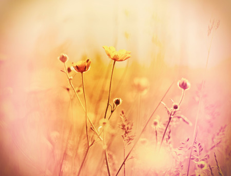 buttercup flower: Beautiful yellow flowers - buttercup flower made with color filter Stock Photo