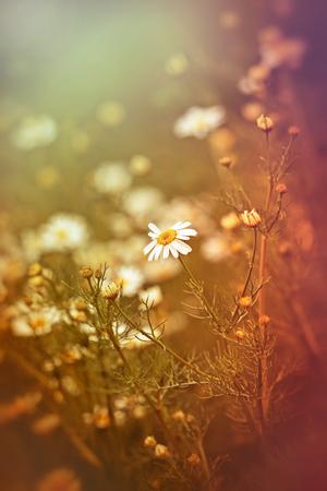 chamomile flower: Wild chamomile flower - daisy flower in spring