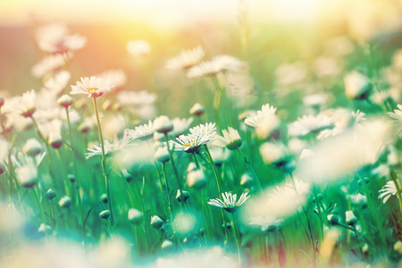 bathed: Daisy flowers in meadow bathed in spring sunlight