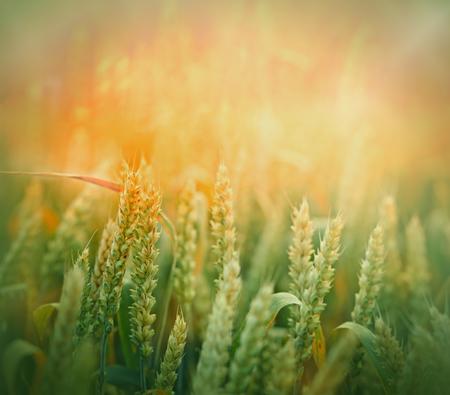 green wheat: Green wheat field - unripe wheat