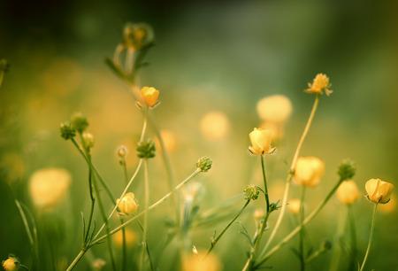 buttercup flower: Buttercup flower - flowering meadow in spring