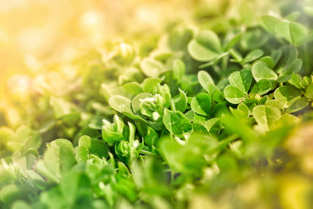 three leafed: Meadow clover in early spring Stock Photo
