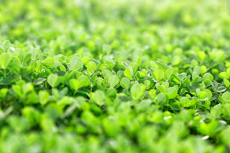 three leafed: Beautiful meadow clover covers ground