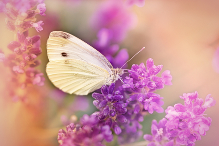 White butterfly on lavender Stok Fotoğraf