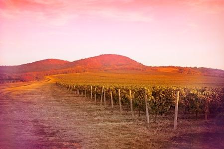 orange sunset: Vineyard - fertile vineyards