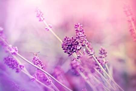 soft   focus: Soft focus on lavender flower Stock Photo