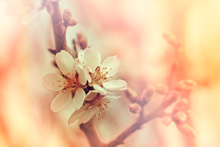 soft   focus: Soft focus on blooming fruit branch - flowering Stock Photo