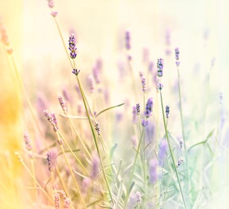 soft   focus: Soft focus on lavender flower in my flower garden Stock Photo