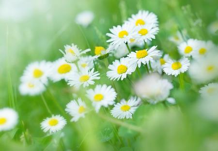 Daisy flowers in fresh spring grass