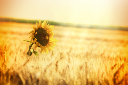 Strahlen der untergehenden Sonne über Weizenfeld und eine Sonnenblume