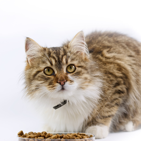 full blooded: Maine Coon eats - beautiful cat Stock Photo