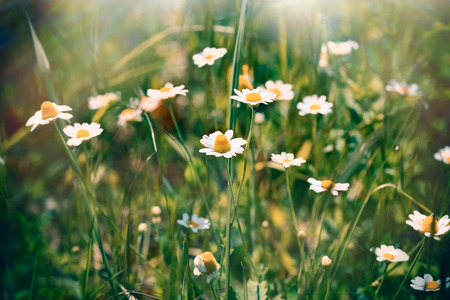 chamomile flower: Wild chamomile (daisy flower) - chamomile in meadow