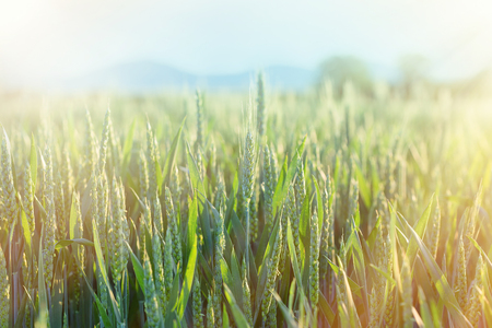 ripening: Green wheat - unripe wheat (wheat field) lit by sun rays Stock Photo