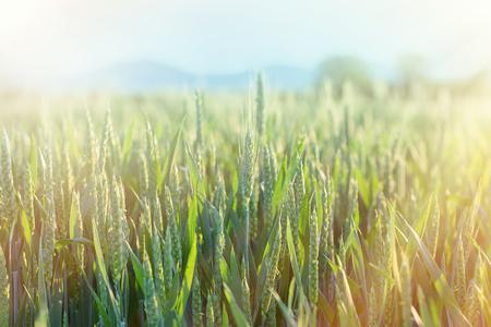 green wheat: Green wheat - unripe wheat (wheat field) lit by sun rays Stock Photo