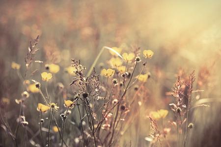 buttercup flower: Beautiful meadow flower - meadow landscape (buttercup flower)