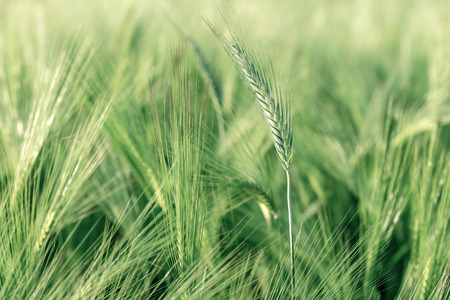 agricultural crops: Agricultural crops - wheat, oat, rye, barley (green field)