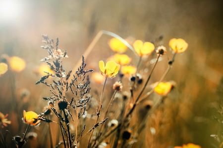 buttercup flower: Yellow meadow flowers - buttercup flower Stock Photo