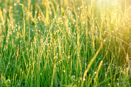 backlit: Morning dew on meadow - rays of the rising sun illuminated the meadow