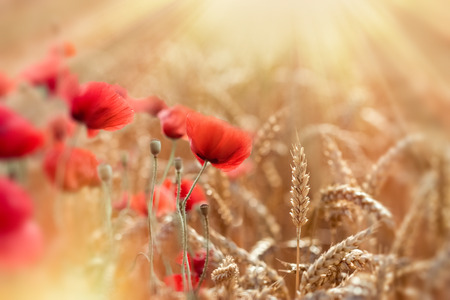 barley head: Selective focus on wheat, wheat field and red poppy flowers lit by sun rays - beautiful nature