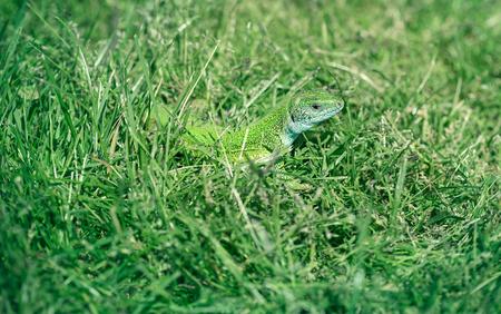 suns: Green lizard in the grass, absorbing the suns heat - sunlight