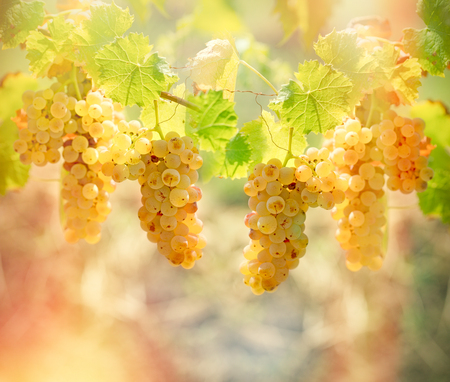 winegrowing: Rich harvest of grapes - Riesling wine grapes
