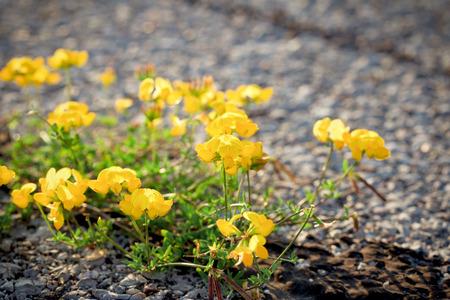 airstrip: Flowers on the airstrip (runway) - life on asphalt