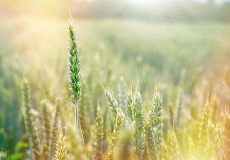 ripening: Wheat field - green wheat, unripe wheat lit by sunlight
