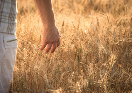 threw: Hand slide threw the wheat field, satisfied farmer goes with hand through wheat