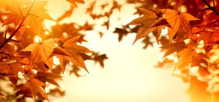 sun lit: Autumn leaves lit by sunlight, beautiful eve - sun rays lit branch of tree Stock Photo