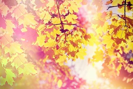 Beautiful autumnal leaves - treetop illuminated with autumn sun Stock Photo