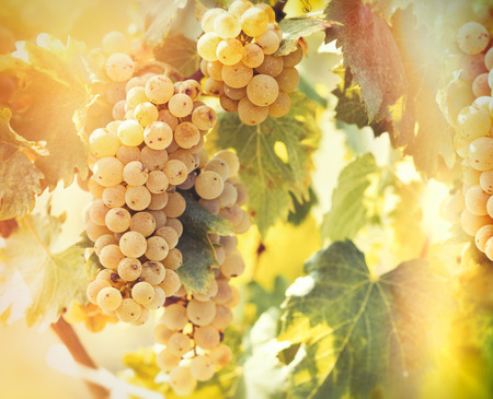 riesling: Wine grape - golden grape Riesling Stock Photo