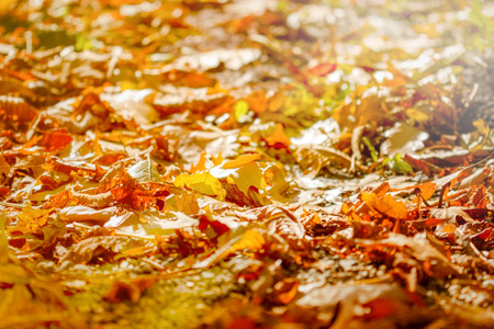 Autumn fallen leaves lit by sun light - beautiful nature
