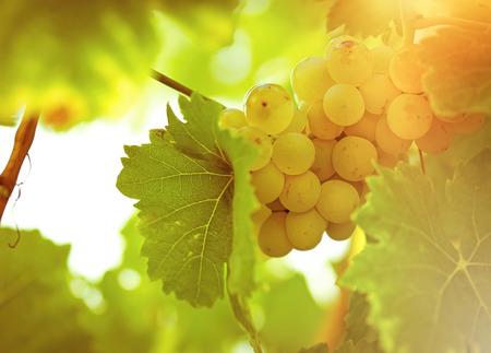 Riesling grape in late afternoon in wineyard