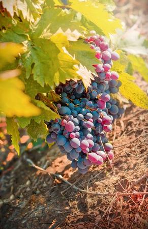 Wine grapes - purple, red grapes on  vine