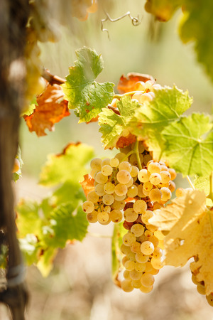 riesling: Golden grape Riesling (wine grape) on grapevine in vineyard lit by sunlight Stock Photo