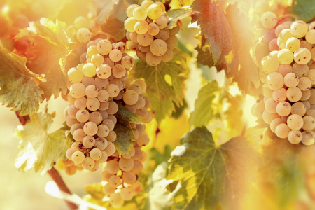 riesling: Grape Riesling (wine grape) on grapevine in vineyard lit by sunlight