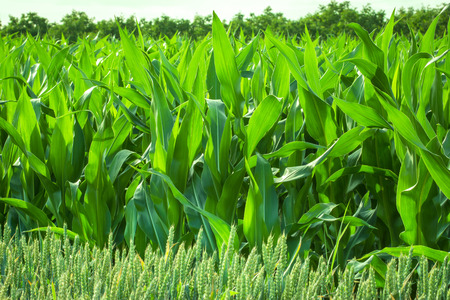 Cornfield - young corn in the development indicates a good harvest