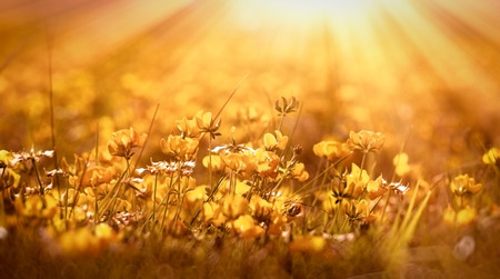 Fiori gialli - bomba in prato illuminata dai raggi del sole
