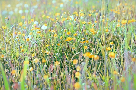 buttercup flower: Yellow flowers in meadow - buttercup flower in spring Stock Photo