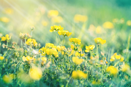 buttercup flower: Flowering meadow - buttercup flower in spring (yellow flowers in meadow)