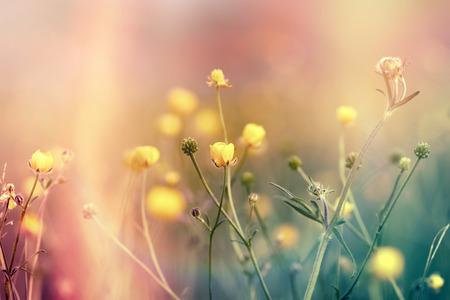 buttercup flower: Yellow flowers in meadow - buttercup flower in spring (flowering meadow)