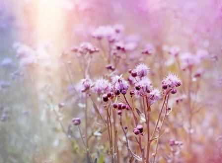 noxious: Flowering, blooming thistle (burdock) in meadow - beautiful nature
