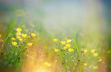 buttercup flower: Beautiful meadow flower - buttercup flower in spring Stock Photo