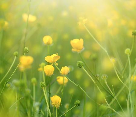 buttercup flower: Meadow flowers in spring - buttercup flower (yellow flowers)